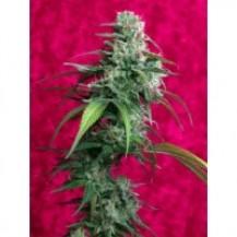 juanita la lagrimosa reggae seeds 3un