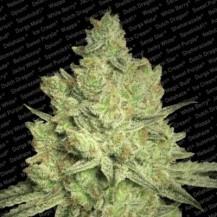 jacky white paradise seeds 3un