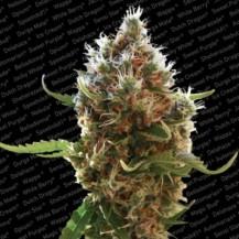 lucid bolt paradise seeds 3un
