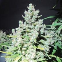 malakoff medical seeds 3un