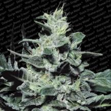 nebula  paradise seeds 3un