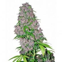 purple bud sensi white label 5un