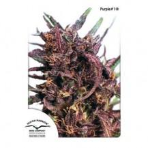 purple #1 dutch passion 5un